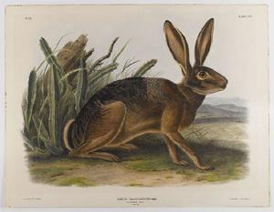 John James Audubon - California Liebres