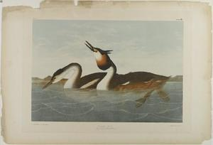 John James Audubon - Lavanco