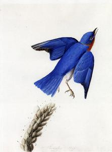 John James Audubon - Bluebird del este