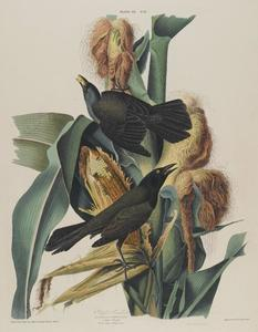 John James Audubon - Purple Grackle