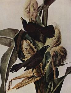 John James Audubon - Purpurbootschwanz