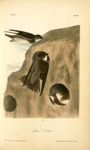John James Audubon - Banco Swallow