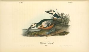 John James Audubon - Pato occidental. Los machos