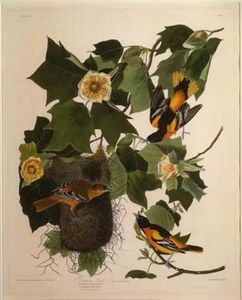 Robert Havell - Baltimore Oriole