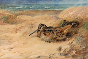 Archibald Thorburn - in desde el norte mar . Woodcock
