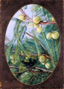 Marianne North - Follaje y De la fruta Emblica officinalis